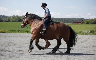 76 åriga Björn galopperar på 12 åriga Bellman. Härligt. 21 maj 2014.