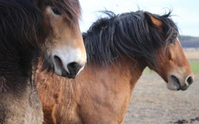 Riktigt upprörda hästar. Loke & Hubbe den 8 april 2017.